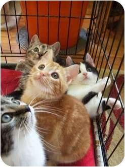 Domestic Shorthair Kitten for adoption in Barnegat, New Jersey - Kittens