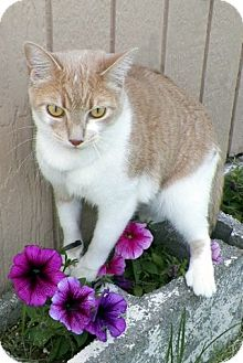 Domestic Shorthair Cat for adoption in Sullivan, Missouri - Allie
