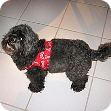 Poodle (Miniature)/Shih Tzu Mix Dog for adoption in Vista, California - Smokie