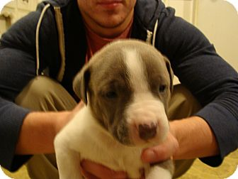 American Pit Bull Terrier Mix Puppy for adoption in Owasso, Oklahoma - Un-named Puppy