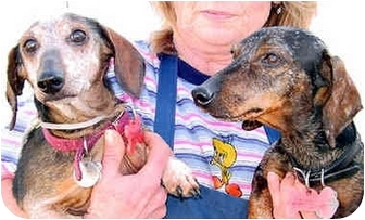 Dachshund Dog for adoption in Spring Valley, California - BUCKY & PIERRE