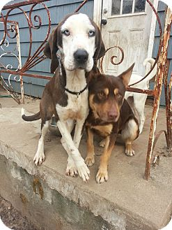 Plott Hound Mix Dog for adoption in Manhasset, New York - Raya