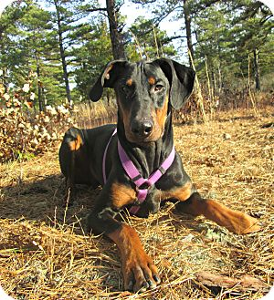 Doberman Pinscher Dog for adoption in Forked River, New Jersey - Butch