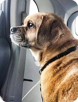 Pug/Beagle Mix Dog for adoption in Gainesville, Florida - Baxter