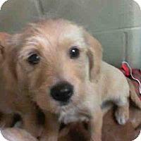 Adopt A Pet :: Brighton - Seattle, WA