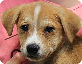 Labrador Retriever Mix Puppy for adoption in Minnetonka, Minnesota - Barney