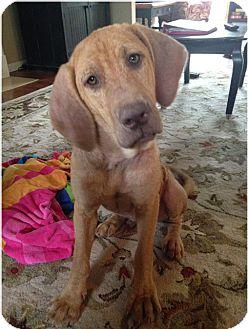 Labrador Retriever/Hound (Unknown Type) Mix Dog for adoption in Cumming, Georgia - Lois Lane