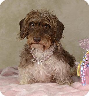 Dachshund Mix Dog for adoption in Las Vegas, Nevada - Cupcake
