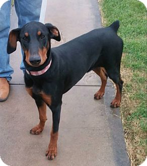 Doberman Pinscher Dog for adoption in Fort Worth, Texas - Gucci