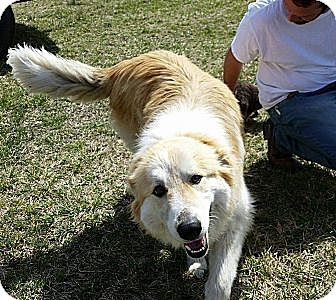 Great Pyrenees/Collie Mix Dog for adoption in Westport, Connecticut - Samantha