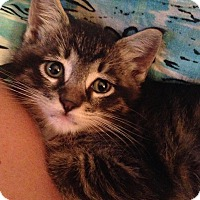Adopt A Pet :: Darby - Brooklyn, NY