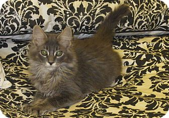Maine Coon Kitten for adoption in Plano, Texas - LUCAS - BEAUTIFUL BOY!!!