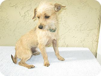 Terrier (Unknown Type, Small) Mix Dog for adoption in Bonita, California - Murphy