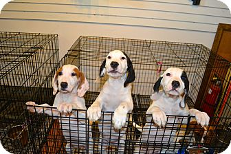 Hound (Unknown Type) Mix Puppy for adoption in Freeport, New York - Hound Puppies