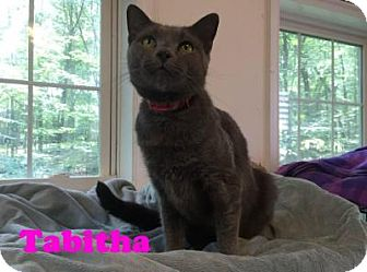 Domestic Shorthair Cat for adoption in East Stroudsburg, Pennsylvania - Tabitha