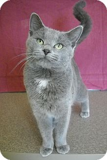 Russian Blue Cat for adoption in Larned, Kansas - Cassie