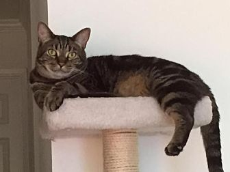 Domestic Shorthair Cat for adoption in San Jose, California - Luigi