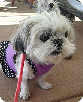 Shih Tzu Mix Dog for adoption in Las Vegas, Nevada - Jema