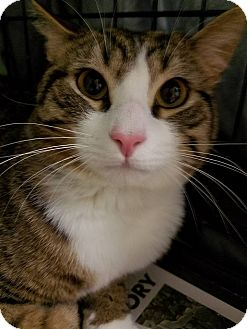 Domestic Shorthair Cat for adoption in Glen Mills, Pennsylvania - Lyle