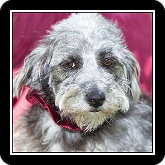 Schnauzer (Miniature)/Maltese Mix Dog for adoption in San Diego, California - Grace