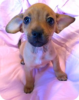 Chihuahua/Miniature Pinscher Mix Puppy for adoption in Los Angeles, California - Virginia