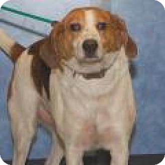 Hound (Unknown Type) Mix Dog for adoption in Stafford, Virginia - Scotty