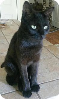 Domestic Shorthair Cat for adoption in Buhl, Idaho - Janay