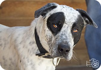 Cattle Dog Mix Dog for adoption in Divide, Colorado - Mischief