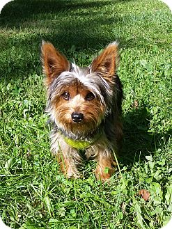 Yorkie, Yorkshire Terrier Dog for adoption in Grand Rapids, Michigan - Sam