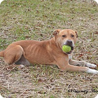 Labrador Retriever Mix Dog for adoption in Henderson, North Carolina - Waldo
