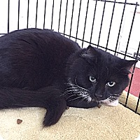 Domestic Shorthair Cat for adoption in Oakland, California - Starboy