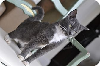 Russian Blue Kitten for adoption in New Smyrna Beach, Florida - Marvin! SuperFriendly! (P.O)
