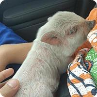 Adopt A Pet :: Baby Pig - Pembroke, GA