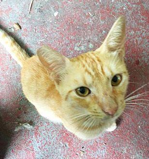 Domestic Shorthair Cat for adoption in Waggaman, Louisiana - Zane