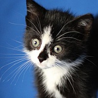 Domestic Shorthair Kitten for adoption in Winston-Salem, North Carolina - Oreo