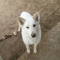 Adopt A Pet :: White Fang - Athabasca, AB