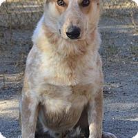 Adopt A Pet :: Scout - Campbell, CA