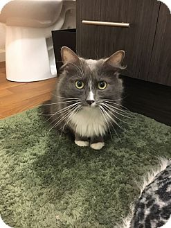 Domestic Mediumhair Cat for adoption in Mountain View, California - Phoebe