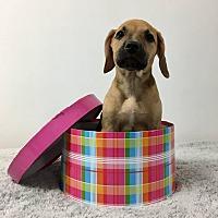 Adopt A Pet :: Opalite - Joliet, IL
