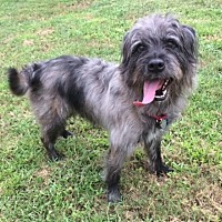 Australian Cattle Dog/Standard Schnauzer Mix Dog for adoption in Palm Harbor, Florida - Duke