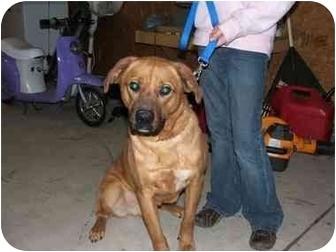 Boxer/German Shepherd Dog Mix Dog for adoption in Wamego, Kansas - Cyrus