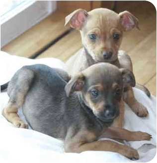 Terrier (Unknown Type, Small) Mix Puppy for adoption in Sacramento, California - Thunder/Lightning!