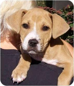 American Pit Bull Terrier/Labrador Retriever Mix Puppy for adoption in El Segundo, California - Einstein