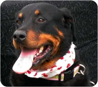 Rottweiler Mix Dog for adoption in Frederick, Pennsylvania - Katie