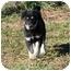 Photo 1 - Australian Shepherd Mix Puppy for adoption in Foster, Rhode Island - Teddy Bear