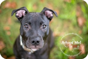 Pit Bull Terrier Mix Puppy for adoption in Rockville, Maryland - Prince