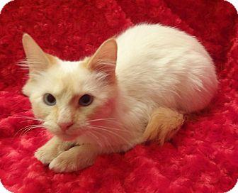 Siamese Kitten for adoption in Bentonville, Arkansas - Cheeto