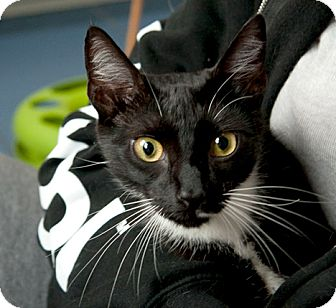 Domestic Shorthair Cat for adoption in Brooklyn, New York - Blue