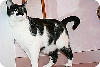 Domestic Mediumhair Cat for adoption in Columbia, South Carolina - Maverick
