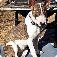Adopt A Pet :: Ivie - Sachse, TX